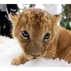Gallery image hayvan resimleri aslan resimleri aktplt8